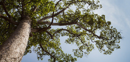 beautiful big tree of Dipterocarpus alatus with blue sky background
