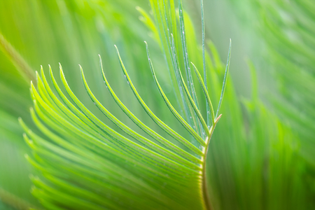 closeup beautiful green cycad leaf in spring time