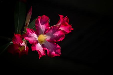 pink desert rose or impala lily on black background