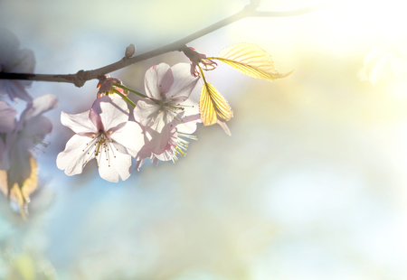 beautiful soft pink cherry blossom and leaf Stock Photo