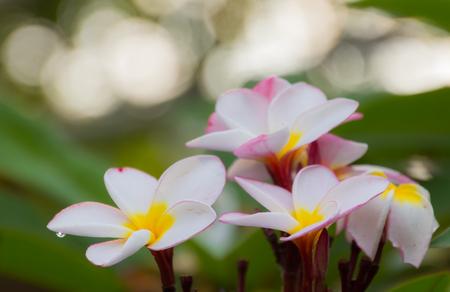 closed  up pink plumeria flower with green leaf