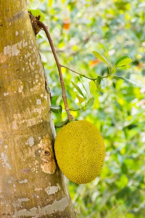closed up jackfruit , tropical fruit on tree