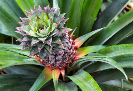 closed up young pineapple fruit and leave  in nature