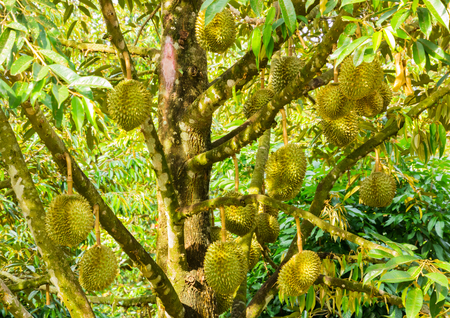 King  of  fruit Durian  , tropical fruit on tree