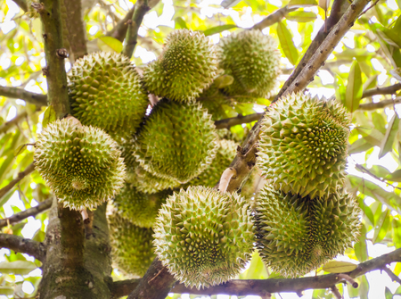 King of  fruit Durian  , tropical fruit on tree Stock Photo