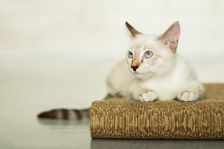 beautiful cute cat or kitten laying down on scratching board