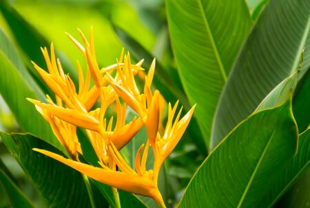 Bird of paradise , yellow flower and green leaf
