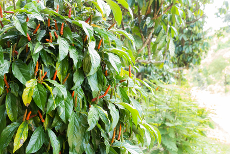 piper longum or long pepper on tree in nature