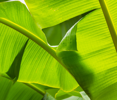 green  leaf of banana tree  with  shadow in nature   for background