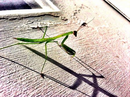 Praying Mantis on Primitive Door