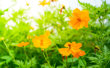 Yellow cosmos flowers with sunlight in the morning cosmos is stock photo yellow cosmos flowers with sunlight in the morning cosmos is also known as cosmos sulphureus mightylinksfo