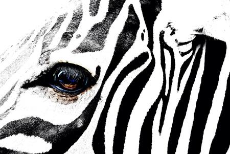 eye: zebra
