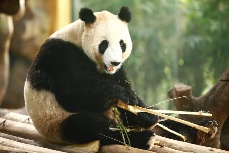 otganimalpets01: Panda eating bamboo in the zoo
