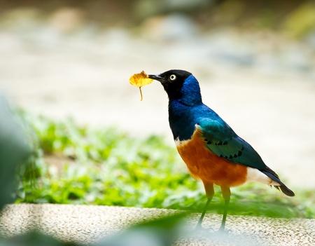 splendide: Belle en regardant Splendid Starling