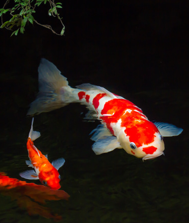 Koi fishes in a pond photo