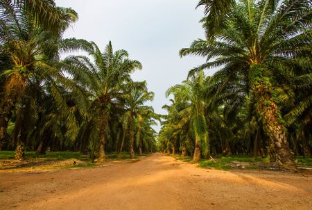 Palm oil plantation in Malaysia photo