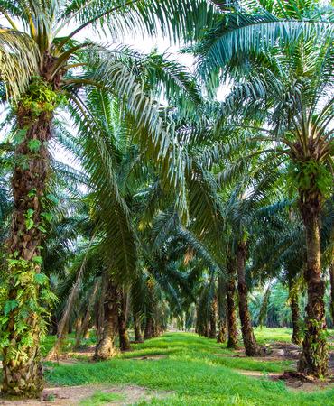 oil palm: Palm oil plantation in Malaysia