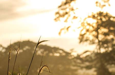 野草: Sunrise on wild grass background 写真素材
