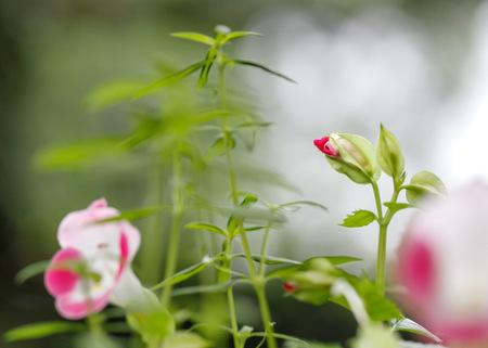 budding: Budding Torenia in a garden
