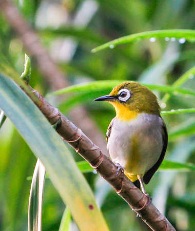 ourdoor: Oriental White Eye, a beautiful bird