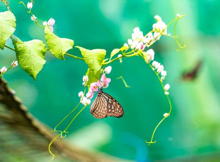 Blue Tiger Glazige Vlinder in een tuin