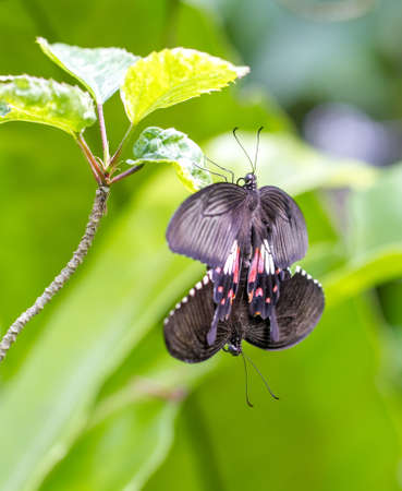 love making: Butterfly making out in Kuala Lumpur Butterfly Park