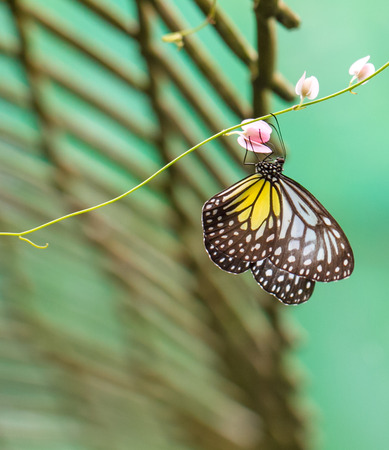 background green: Yellow Glassy Tiger butterfly on a flower in a garden Stock Photo