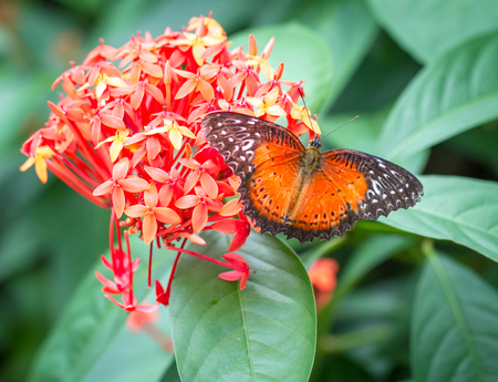 lacewing: Common Lacewing butterfly in Kuala Lumpur Butterfly Farm Stock Photo