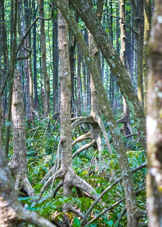 protected plant: Mangrove forest in Kuala Sepetang Malaysia Stock Photo