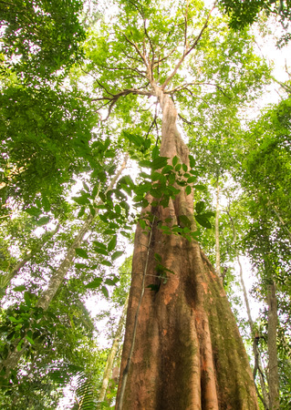 thick growth: Big tree found in a tropical forest Stock Photo