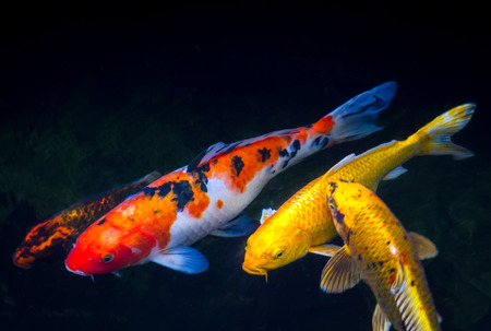 red  fish: Koi fish inside the pond Stock Photo