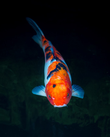 single fin: Koi fish inside the pond Stock Photo