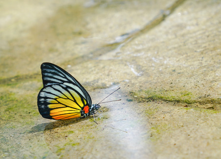 Painted Jezebel Butterfly side view Stock Photo