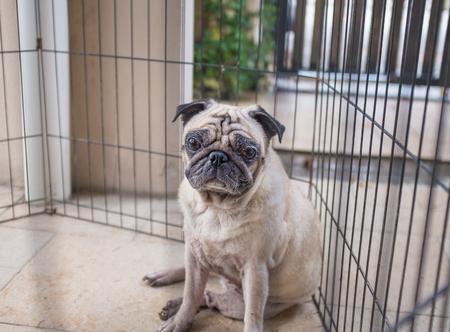 Pug feeling pensive inside a fence