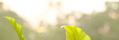 Banner background with green leaves and golden white sky, with copy space