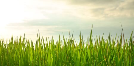 Close up shot of fresh green rice plants in a paddy field with copy space Stockfoto
