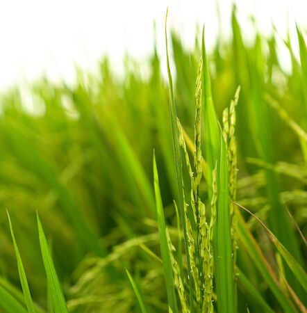 Close up shot of rice stalk of a green paddy field. Agriculture or food concept.