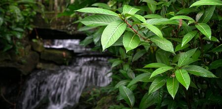 Tropical forest with lush green leaves, and waterfall at the background. Copy space.