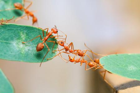 Jedność mostu mrówkowego. Selektywna ostrość.