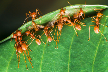 Red ants work as a team to build their nest.selective focus.