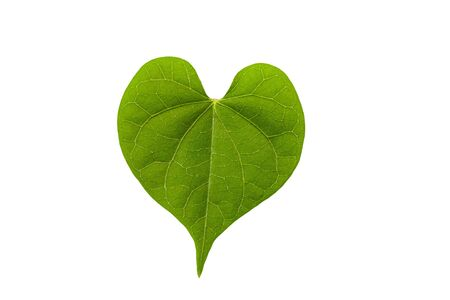 A heart shaped leaf on a white background 写真素材 - 132077961