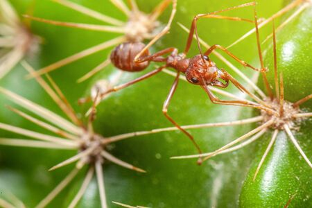 the red ants walk on the cactus are surrounded by thorns.selective focus. Banco de Imagens