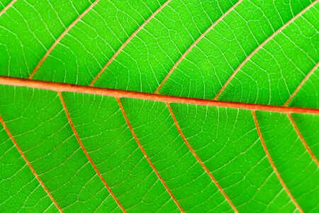 Green leaf fresh detailed rugged surface structure extreme macro closeup photo with midrib, leaf veins and grooves as a detailed intricate pattern nature texture eco green biology background.