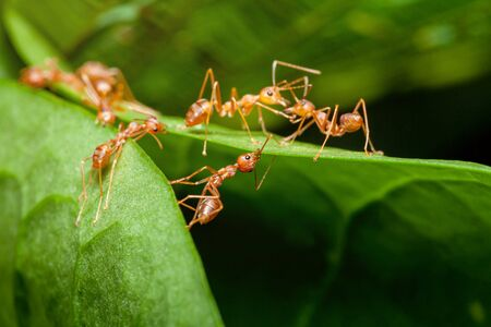 ant worker are building nest on green leaf with nature blurred background