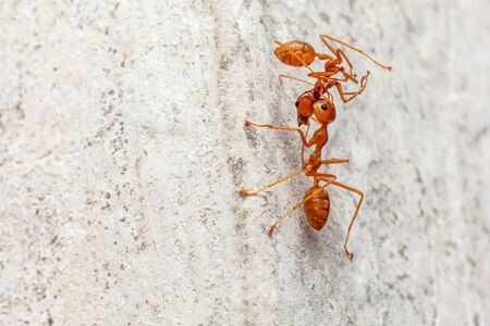 A red ant carrying another red ant up on cement stone background