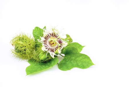 closeup fetid passion flowers  isolated on white background