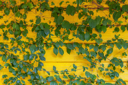 Natural green background. Creeping fig (Ficus pumila) often grows on freestanding yellow walls Stock fotó