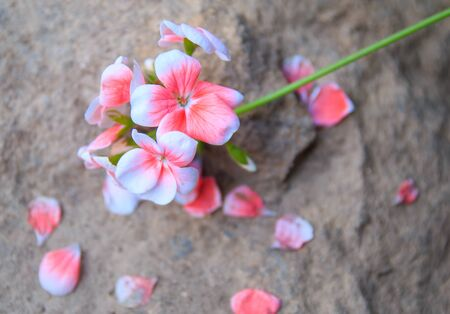 white and pink colored petals Stock Photo