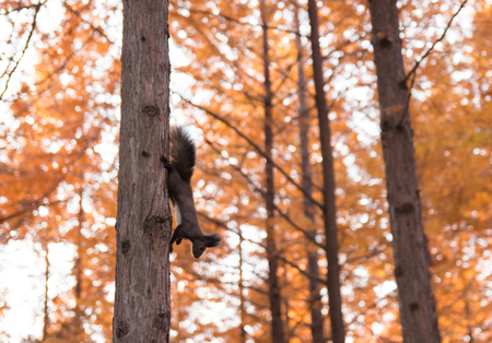 natue: Squirrel on metasequoia tree in Namiseom Isaland