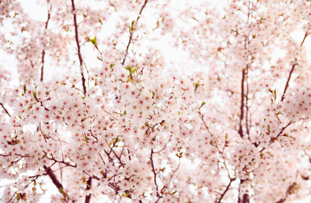 Cherry blossom in spring season Stock Photo